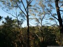 eucalyptus forest, bidjigal reserve. 2012-09-30 06:50:30, Galaxy Nexus.