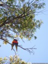a pair of rainbow lorikeets