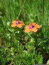 pflanze erfuellt mich mit freude. :) (anagallis arvensis). 2012-10-07 03:47:16, PENTAX Optio W60.