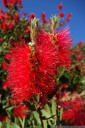bottlebrush (callistemon sp.). 2012-10-14 07:11:00, DSC-RX100.