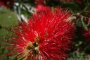bottlebrush (callistemon sp.). 2012-10-14 07:11:44, DSC-RX100.