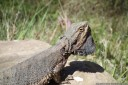 bearded dragon (pogona sp.). 2012-10-22 04:54:11, DSC-RX100.