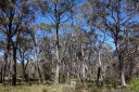 eucalypt forest, blue mountains. 2012-10-27 12:28:52, DSC-RX100.