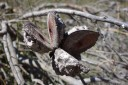 serotinous seed pods protect the seeds and only open after long drought or bushfires