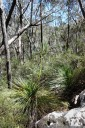 grass tree (xanthorrhoea arborea?)
