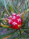 mountain devil (lambertia formosa) [honey flower]. 2012-10-27 07:36:47, Galaxy Nexus.