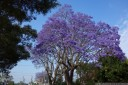 blue jacaranda (jacaranda mimosifolia). 2012-11-04 09:00:36, DSC-RX100.