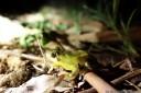 whirring tree frog (litoria revelata)