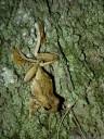 peron's tree frog (litoria peroni). 2013-01-30 12:58:18, DSC-RX100.
