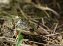 spotted marsh frog (limnodynastes tasmaniensis). 2013-01-30 12:59:34, DSC-RX100.