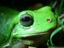 green tree frog (litoria caerulea), face detail