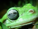 green tree frog (litoria caerulea), eye closeup