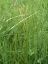 marsh arrowgrass (triglochin palustre)