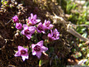 purple mountain saxifrage (saxifraga oppositifolia) - the highest-occuring alpine plant grows on altitudes of 4000+ meters, and in latitudes of 80+ degrees