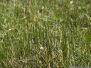 arctic rush (juncus arcticus)