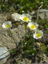 alpine buttercup (ranunculus alpestris)