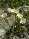 alpen-hahnenfuß (ranunculus alpestris) || foto details: 2011-07-04 12:45:20, piz val gronda, fimbatal, austria, DSC-F828.