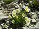 alpine buttercup (ranunculus alpestris)