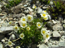 alpen-hahnenfuß (ranunculus alpestris) || foto details: 2011-07-04 12:54:03, piz val gronda, fimbatal, austria, DSC-F828.