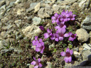 purple mountain saxifrage (saxifraga oppositifolia) - the highest-occuring alpine plant grows on altitudes of 4000+ meters, and in latitudes of 80+ degrees. 2011-07-04 01:35:42, DSC-F828. keywords: aupilaktunnguaq