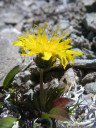 taraxacum handelii, one of the botanical highlights of our tour