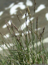 glaucus bluegrass (poa glauca), a very rare species
