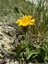 crepis rhaetica - extremely rare in austria. 2011-07-04 04:00:04, DSC-F828. keywords: crepis jacquinii, rätischer pippau, crépide rhétique, radicchiella retica