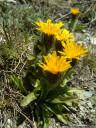 crepis rhaetica - extremely rare in austria. 2011-07-04 04:02:18, DSC-F828. keywords: crepis jacquinii, rätischer pippau, crépide rhétique, radicchiella retica