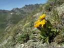 crepis rhaetica, extremely rare in austria