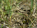 two-coloured sedge (carex bicolor)