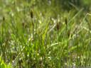 kleine grannen-segge (carex microglochin), extrem selten in österreich || foto details: 2011-07-04 05:40:10, fimbatal, austria, DSC-F828.