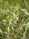 fewseeded bog sedge (carex microglochin), extremely rare in austria