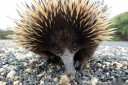 short-beaked echidna (tachyglossus aculeatus). 2013-02-20 12:49:15, DSC-RX100.