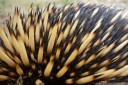 short-beaked echidna (tachyglossus aculeatus) - spines and fur