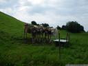a startled cow quintet
