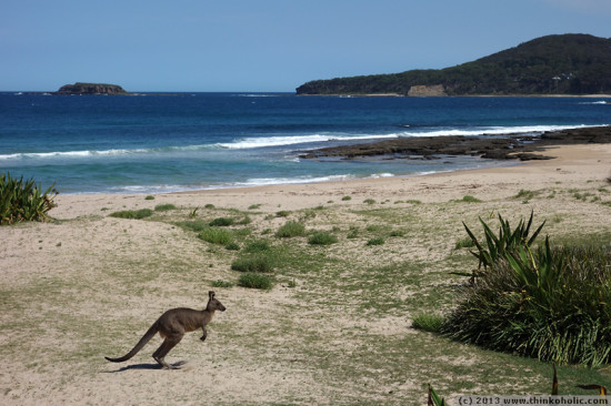 a bit surreal: a kangaroo is hopping around at pebbly beach (murramarang national park, NSW), which isn't very pebbly.