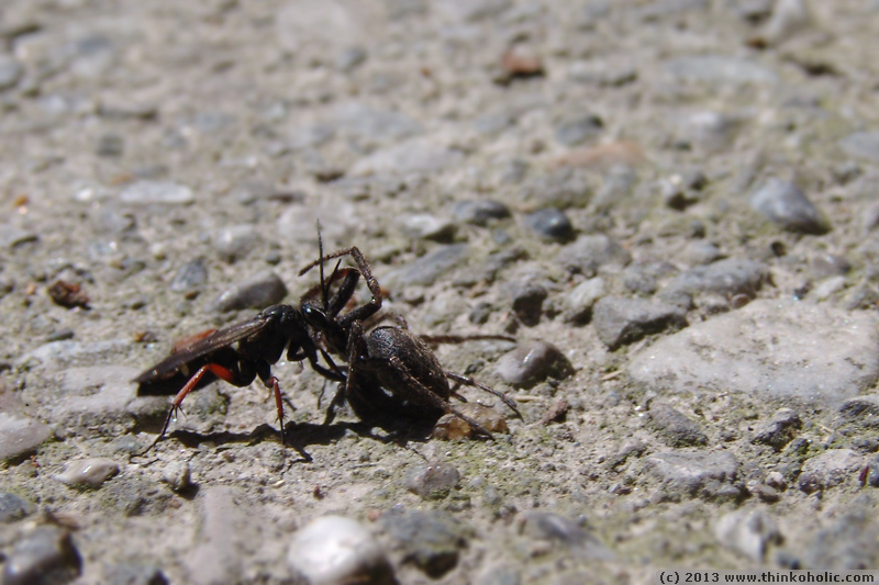 a spider wasp (pompilidae) carrying its paralysed spider prey