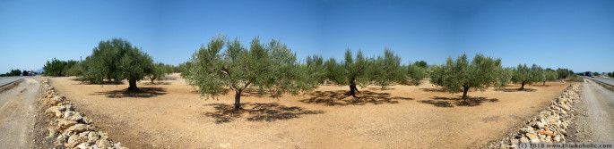 panorama: olive orchard