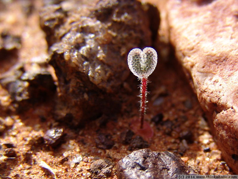 a tiny stone plant seedling (aizoaceae) that is covered in epidermal bladder cells.