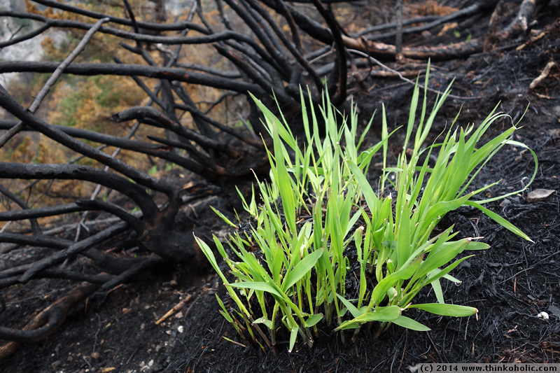 absam forest fire: fresh grass is sprouting at latschenegg