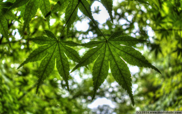 japanese maple (acer palmatum) leaves in the trauttmannsdorff castle gardens, hdr photo