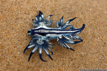 blue dragon (glaucus atlanticus), a white-and-blue upside-down nudibranch