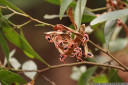tasmanian blackwood seeds (acacia melanoxylon)