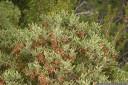 tasmanian blackwood (acacia melanoxylon)