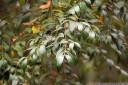 southern sassafrass (atherospermum moschatum)