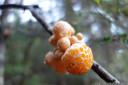 myrtle orange (fruiting body of cyttaria gunnii)
