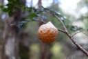 myrtle orange (fruiting body of cyttaria gunnii)