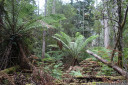 soft tree fern (dicksonia antarctica), tahune state forest, tasmania