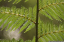 soft tree fern (dicksonia antarctica), frond detail
