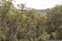 stringybark (eucalyptus obliqua) at tahune state forest, tasmania